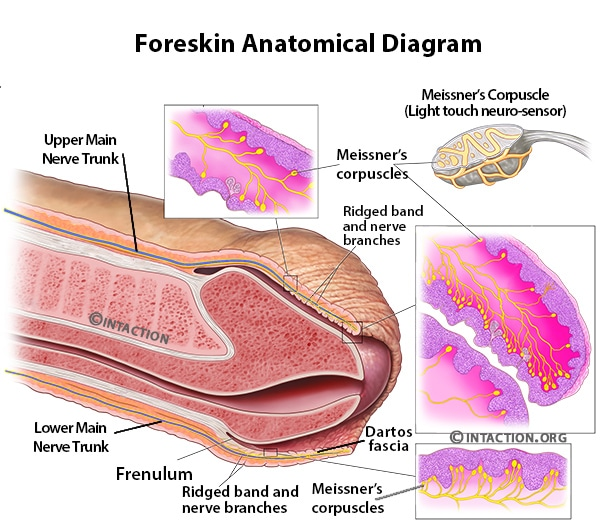 foreskin anatomy structures diagram